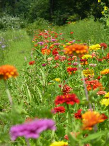 Zinnias come in a multitude of colors